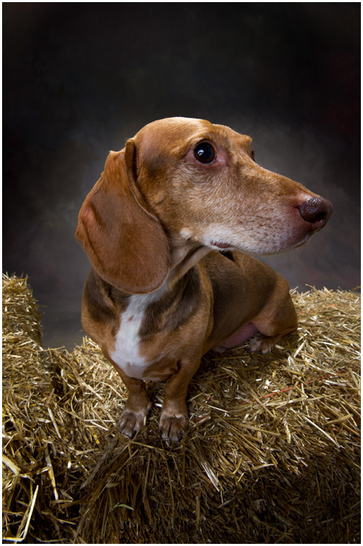 Hudson Valley Dog Portraits